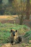 Hyena selvagem imagens de stock