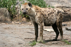 Hyena - Serengeti, Africa Royalty Free Stock Images