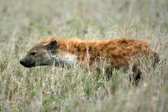 Hyena - Serengeti, Afrika Royalty-vrije Stock Foto