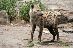 Hyena - Serengeti, Afrika Stock Afbeelding