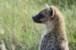 Hyena in Serengeti National Park. Tanzania, Africa Stock Image