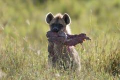 Hyena in Serengeti National Park stock photos