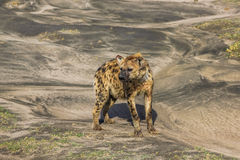 Hyena. Portrait of a hyena standing on the ground. Ndutu area is situated in the South-eastern part of the Serengeti ecosystem, Tanzania, Africa Stock Image