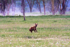 Hyena on the shore of the lake. Stock Image