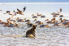 Hyena on the shore of lake Nakuru Stock Photo