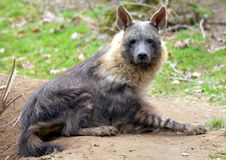 Hyena. Single hyena sitting onto ground stock photos