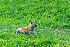 Hyena sit meadow. Hyena sit in the meadow Royalty Free Stock Photo