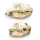 Hyena skull isolated Royalty Free Stock Photos