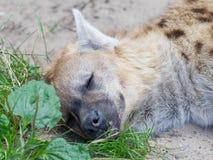 Hyena sleeping in the grass Stock Photo