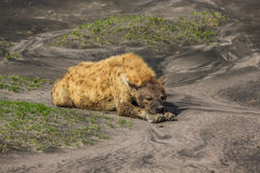 Hyena sleeping. Side portrait of a hyena lying on the ground. Ndutu area is situated in the South-eastern part of the Serengeti ecosystem, Tanzania, Africa Stock Photo