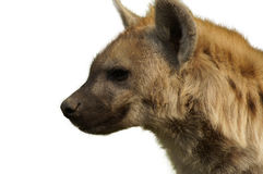 Hyena smile. Adult wild hyena smiling face Stock Image