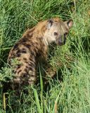 A hyena sneaks and hide in the grass stock photography