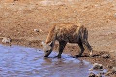 Hyena som dricker i Etosha Parc Namibia Royaltyfri Fotografi