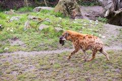 Hyena som går med ett stycke av kött i munnen royaltyfria foton