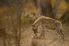 Hyena som matar på buskesvinhuvudet Sydafrika Arkivfoton