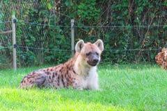 Hyena som vilar på gräs Arkivfoton