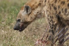 Hyena South Africa. Kruger National Park stock image