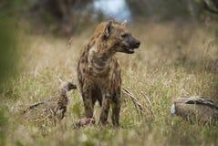 Hyena South Africa royalty free stock photos