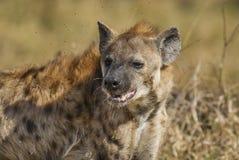 Hyena South Africa stock image