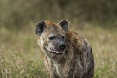 Hyena South Africa stock image