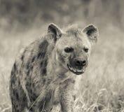 Hyena South Africa stock photo