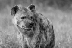 Hyena South Africa royalty free stock photography
