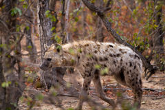 Hyena in south africa Royalty Free Stock Image