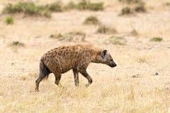 Hyena. Spotted Hyena (Crocuta crocuta) - walk at savann. Masai Mara Conservancy, Kenya, Africa Stock Image