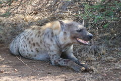 Hyena. A spotted Hyena female resting royalty free stock photography