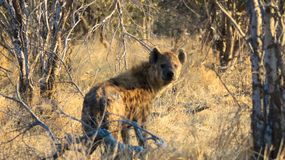 Hyena spotted looking back through grass and shrubs. Hyena Hyaenidae looking back while walking through grass. The animal is in his natural habitat - Savuti Game stock image