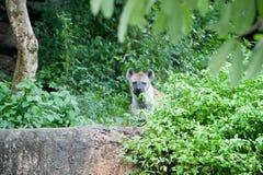 Hyena Stock Image