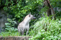 Hyena Royalty Free Stock Photos
