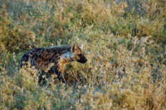 Hyena stalking through grass in Africa Royalty Free Stock Photo