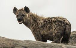 hyena standing on rock, Serengeti, Tanzania Royalty Free Stock Photo