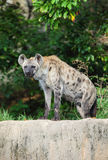 Hyena are stare at us. With forest background Stock Photos