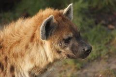 Hyena Stock Photography