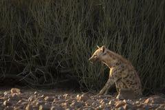 Hyena stretching Stock Photography