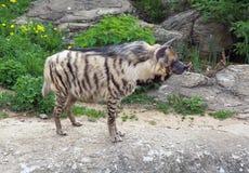 Hyena a strisce Fotografie Stock