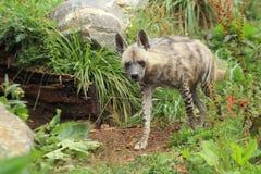 Hyena a strisce Fotografia Stock Libera da Diritti