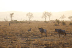 Hyena in sunrise Stock Image