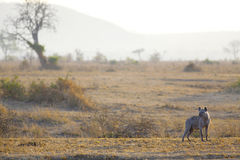 Hyena in sunrise Stock Photo