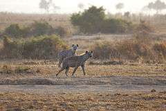 Hyena in sunrise Royalty Free Stock Image