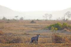 Hyena in sunrise Royalty Free Stock Images