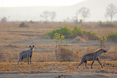 Hyena in sunrise Royalty Free Stock Photo