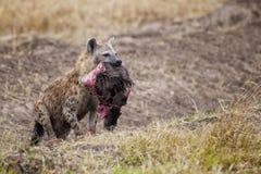Hyena Sydafrika arkivfoto