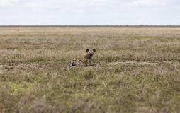 Hyena taking a rest in the Serengeti Stock Photos