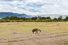 Hyena and thomsons gazelles in savannah at africa Stock Photos