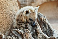 Hyena in a tree. One hyena resting on the bark of a tree Royalty Free Stock Photography