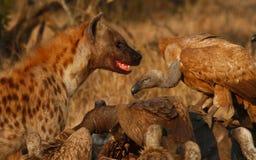 Hyena versus vultures Stock Images