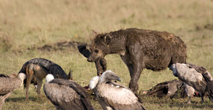 Hyena, vultures and jackal Stock Photography